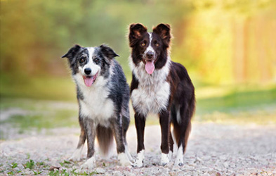 THE BORDER COLLIES AT GEESE RELIEF