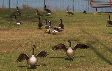 Geese Problems