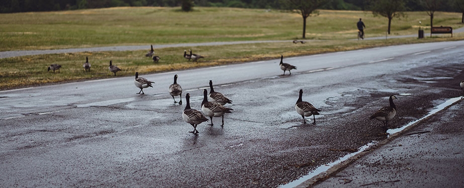 Canadian Geese Changing The Natural Habitat