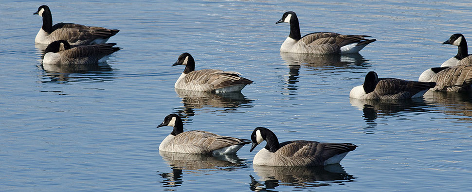 Geese in a lake